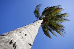 Palme tree and tropical blue sky Stock Photos