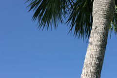 Palme treewith blauer Himmel. Stockfoto