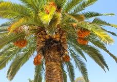 Palme und Daten Stockfoto