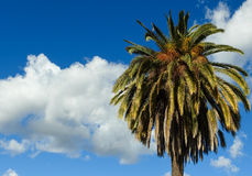 Palme und Wolken an einem windigen Nachmittag Stockfotografie