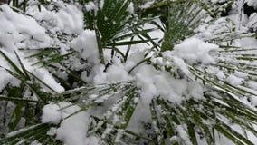 Palme unter dem Schnee stock footage