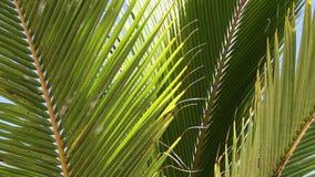 Palmeblätter schließen oben in der Brise stock video footage