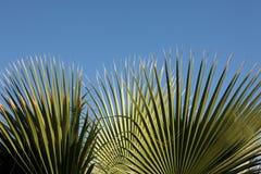 Palmeblatt Stockfoto