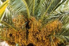 Palmedaten der bernsteinfarbigen Farbe Abschluss oben abstraktes strukturiertes natu Lizenzfreie Stockfotografie