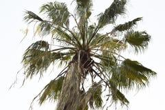 A palmeira Imagens de Stock Royalty Free