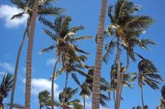 Palmeira Imagens de Stock Royalty Free