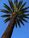 Palmeira Imagens de Stock