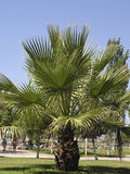Palmeira Foto de Stock