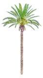 Palmeira alta da data isolada Foto de Stock Royalty Free