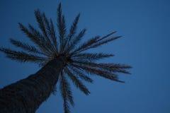 Palmeira alta no olhar acima do ângulo sob o nivelamento do céu azul Folhas frescas da fronda e cascas ásperas da planta tropical foto de stock royalty free
