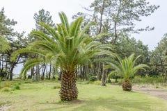 Palmeira amarela Foto de Stock Royalty Free