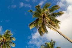 Palmeira bonita nas Caraíbas imagem de stock royalty free