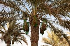 Palmeira com datas maduras frescas Fotos de Stock Royalty Free
