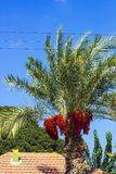 Palmeira com datas vermelhas Imagem de Stock