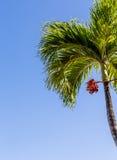 Palmeira com fruto vermelho e o céu azul Imagem de Stock Royalty Free