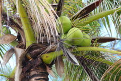 Palmeira com os cocos no paraíso Imagem de Stock