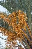 Palmeira com tâmaras Foto de Stock Royalty Free