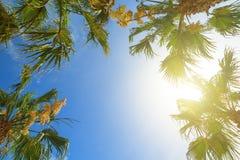 A palmeira coroa com as folhas verdes no fundo ensolarado do céu A palmeira dos cocos cobre - a vista da terra Folha de palmeira  Imagem de Stock