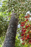 Palmeira da data Imagem de Stock