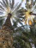 Palmeira da data nos uae foto de stock royalty free