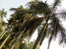 Palmeira da rainha fotos de stock