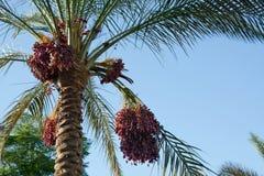 Palmeira da tâmara Imagens de Stock Royalty Free