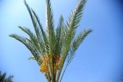 Palmeira da tâmara Fotos de Stock