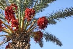Palmeira da tâmara com tâmaras Imagens de Stock Royalty Free