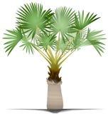 Palmeira de Bismarck ilustração royalty free