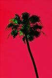 Palmeira de Califórnia Foto de Stock