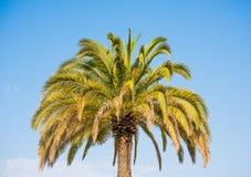 Palmeira de encontro ao céu azul Imagem de Stock Royalty Free