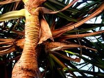 Palmeira de Noosa Fotografia de Stock Royalty Free