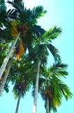 Palmeira de Pinang Fotografia de Stock