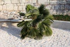 Palmeira decorativa pequena com as folhas escuras pointy densas plantadas no parque local cercado com cascalho branco e a pedra t fotografia de stock royalty free