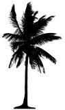Palmeira detalhada Fotografia de Stock