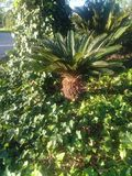 Palmeira diminuta Fotos de Stock Royalty Free