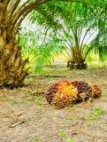 Palmeira do óleo Foto de Stock