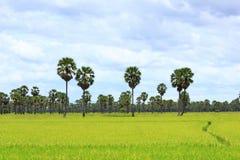 Palmeira do açúcar Imagens de Stock
