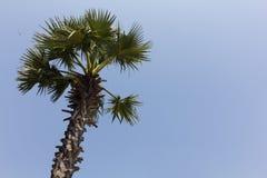 Palmeira do açúcar Foto de Stock