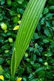 Palmeira do bebê na chuva Imagens de Stock