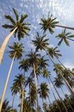 Palmeira do coco Imagens de Stock Royalty Free