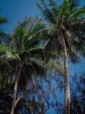 Palmeira do coco fotografia de stock