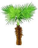 Palmeira do coco isolada no branco Fotografia de Stock Royalty Free