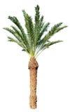 Palmeira do coco isolada no branco Fotos de Stock Royalty Free