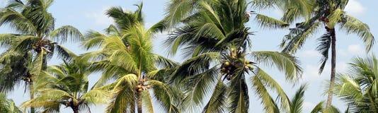 Palmeira do coco para o fundo do coco da plantação, palma de coco para o fundo da bandeira ou de anunciar produtos da apresentaçã imagens de stock royalty free