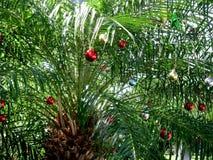 Palmeira do Natal decorada com os ornamento vermelhos brilhantes nas chaves de Florida Imagens de Stock Royalty Free