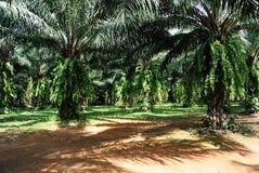Palmeira do petróleo Fotos de Stock