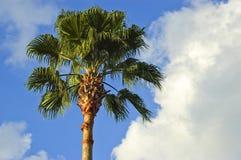 Palmeira do ventilador de Califórnia Imagem de Stock