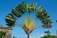 Palmeira dos viajantes Imagens de Stock
