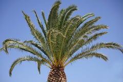 Palmeira e céu azul ensolarado Fotografia de Stock